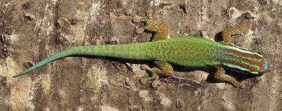 Lézard Vert de Manapany dans LEZARD lezard-vert
