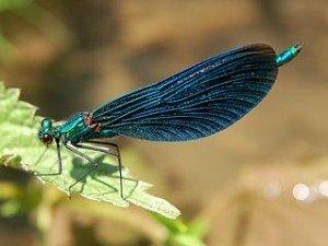 Dix mues pour une libellule dans LIBELLULE libel2-300x225