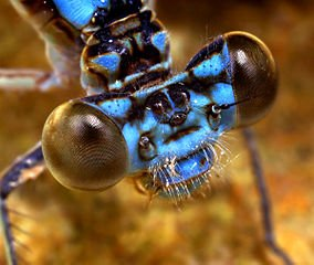 Morphologie d'une libellule dans LIBELLULE libell