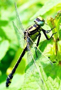 Milieu naturel des Libellules dans LIBELLULE libell2-206x300