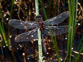 10 libellules communes en France dans LIBELLULE libellu