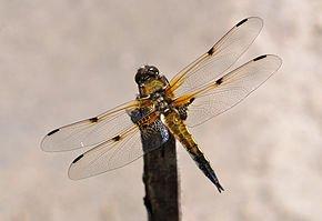 Sensibilité des Libellules dans LIBELLULE libellula