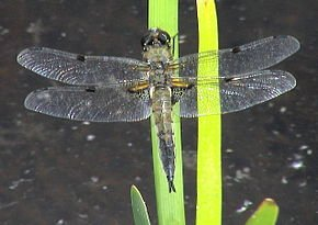 Les libellules passent l'hiver dans LIBELLULE libellula_qu