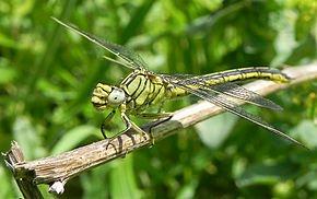 Connaître les libellules dans LIBELLULE libelu