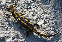 Lézard noir et jaune dans LEZARD salamandre