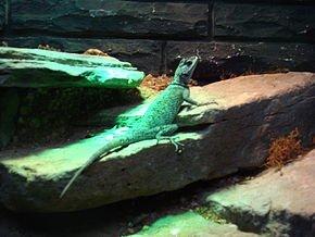 Autres Lézards dans LEZARD xenosaurus