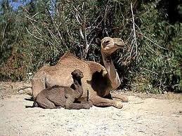 La vie des chameaux dans CHAMEAU - DROMADAIRE bebe-chameau