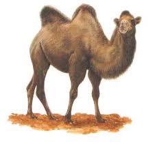 Les bosses du chameau dans CHAMEAU - DROMADAIRE cham3