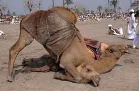 Combats parmi les chameaux dans CHAMEAU - DROMADAIRE combat