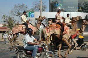 Le chameau en Inde dans CHAMEAU - DROMADAIRE inde-300x199