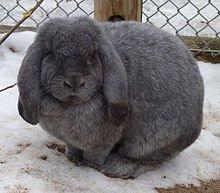 Comment prendre soin de son lapin dans LAPIN - LIEVRE lapin