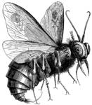 Mouche, la Volucelle dans MOUCHE mouche-131x150