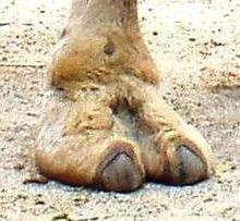 Adaptation du dromadaire dans CHAMEAU - DROMADAIRE pied