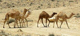 Les derniers chameaux sauvages dans CHAMEAU - DROMADAIRE sauvages