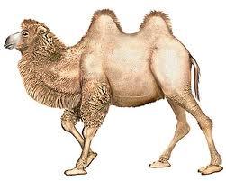 Le Premier CHAMEAU dans CHAMEAU - DROMADAIRE 1er-chameau