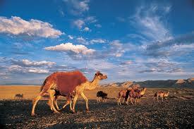Les chameaux d'Abraham dans CHAMEAU - DROMADAIRE chameau-de-gobi1