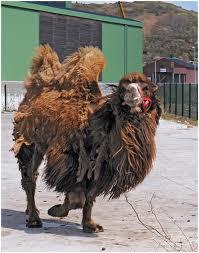 Celui qui a de vieux chameaux dans CHAMEAU - DROMADAIRE chameau-vieux