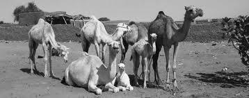 chameau dans CHAMEAU - DROMADAIRE