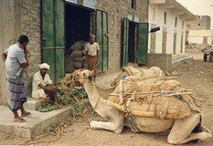 chameau des Touarègues dans CHAMEAU - DROMADAIRE drom-300x206
