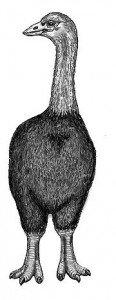Æpyornis – Oiseaux éléphants dans AUTRUCHE - EMEU aepyornis-116x300