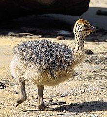 Un Emeu dans la presse dans AUTRUCHE - EMEU autruche1