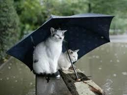 Les chats et l'eau dans CHAT chat-et-eau