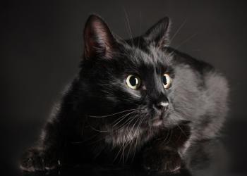 Domestication ancienne du chat dans CHAT chat1