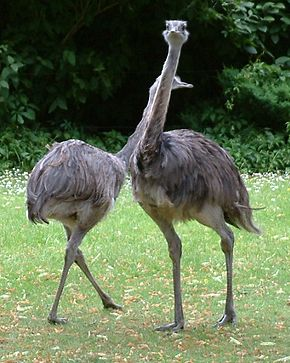 Les émeus rappellent l'Autruche dans AUTRUCHE - EMEU emeu-au