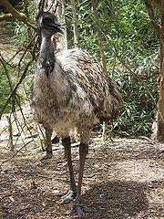 l'Emeu d'Autrefois dans AUTRUCHE - EMEU emeu
