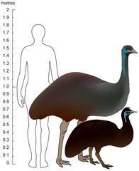 Emeu de taille dans AUTRUCHE - EMEU emeu