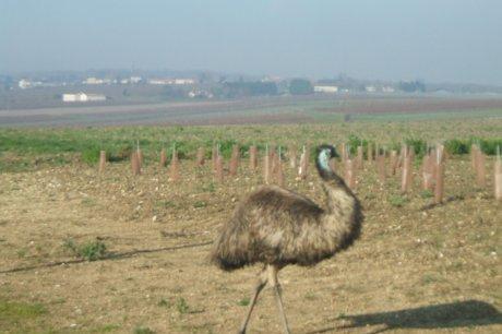 Histoire d'emeu dans AUTRUCHE - EMEU histoire