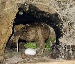 Les kiwis rappellent l'Emeu dans AUTRUCHE - EMEU kiwi