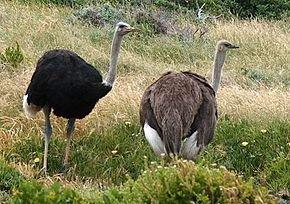 Les Emeus Dromaiidae dans AUTRUCHE - EMEU ratites