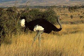 Origine et évolution de l'autruche dans AUTRUCHE - EMEU somali_ostrich