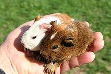 Cobaye, Animal de compagnie dans HAMSTER - COBAYE 220px-cochons_dinde_de_24h