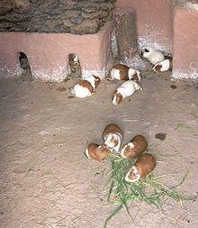 Seul ou en couple ? pour le cochon d'Inde dans HAMSTER - COBAYE 220px-cuy_in_the_kitchen_edit1