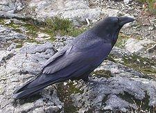 L'Intelligence du corbeau dans CORBEAU 225px-raven_cypress_provincial_park_2