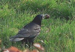 CORBEAU général dans CORBEAU 250px-corvus_frugilegus1