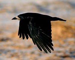 Le corbeau...noir dans CORBEAU 250px-rook_in_flight