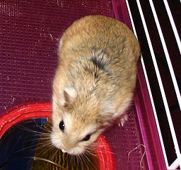 Le Hamster domestique dans HAMSTER - COBAYE 256px-roborovski_hamster