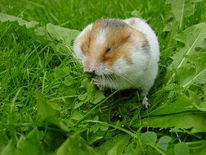 Les Abajoues du Hamster dans HAMSTER - COBAYE abajoue