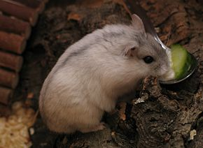 Soins en captivité du Hamster Russe dans HAMSTER - COBAYE am