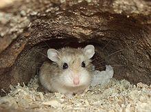 Les hamsters dans la culture populaire dans HAMSTER - COBAYE ams