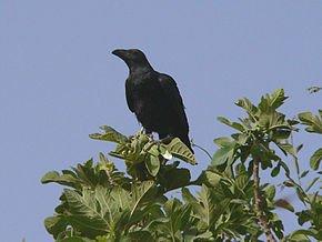 Le Grand Corbeau et l'homme dans CORBEAU brown-necked_raven