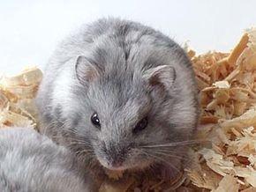 Films et séries télévisées sur le Hamster dans HAMSTER - COBAYE campbell_hamster_blue_fawn