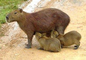 Cobaye et/ou Cochon d'inde dans HAMSTER - COBAYE capibara_2_edit