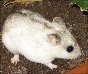 Hamster de Chine dans HAMSTER - COBAYE chine