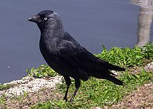 Le Corbeau choucas dans CORBEAU choucas