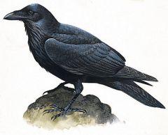 Bibliographie CORBEAU   dans CORBEAU corbeau