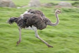 pourquoi les autruches courent si vite ? dans AUTRUCHE - EMEU course